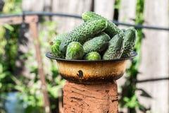 Organiska nya gurkor i gammal bunke Royaltyfria Foton