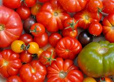 Organiska nya mogna tomater, bästa sikt arkivbilder