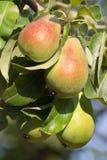 organiska pears Arkivbild