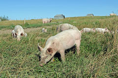 Organiska piglets Royaltyfria Foton