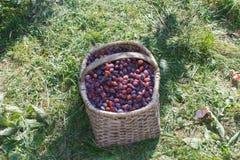 Organiska plommoner i korg i sommargräs Nya äpplen i natur Royaltyfria Bilder