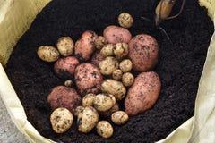 organiska potatisar Arkivbilder