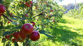 Organiska röda äpplen i äpplefruktträdgård stock video