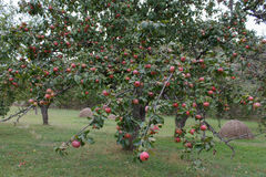 Organiska röda äpplen som är klara att välja på trädfilialer äppleäpplefilialen bär fruktt leavesfruktträdgården Fotografering för Bildbyråer