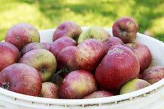 Organiska röda Johnny Apples i en plast- hink royaltyfri bild