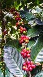 Organiska röda kaffekörsbär på trädfilial Arkivfoto