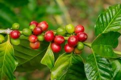 Organiska röda kaffekörsbär, rå kaffeböna på koloni för kaffeträd Royaltyfri Bild