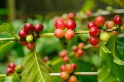 Organiska röda kaffekörsbär, rå kaffeböna på koloni för kaffeträd Arkivbilder