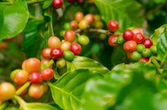 Organiska röda kaffekörsbär, rå kaffeböna på koloni för kaffeträd Royaltyfria Bilder