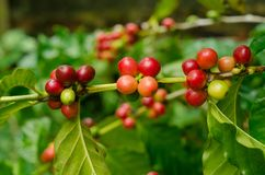 Organiska röda kaffekörsbär, rå kaffeböna på koloni för kaffeträd Arkivfoton