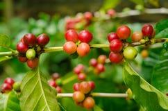 Organiska röda kaffekörsbär, rå kaffeböna på koloni för kaffeträd Royaltyfria Foton