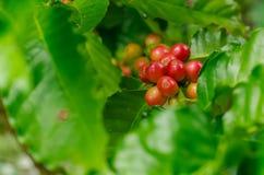 Organiska röda kaffekörsbär, rå kaffeböna på koloni för kaffeträd Royaltyfri Foto