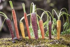 Organiska regnbågemorötter Royaltyfri Foto