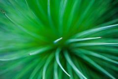 Organiska strålar Mjuk abstrakt bild av den suddiga palmliljaqueretaroensien Royaltyfri Fotografi