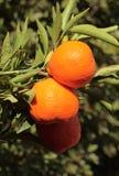 Organiska Tangerines på treen Royaltyfria Bilder