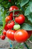 organiska tomater Fotografering för Bildbyråer