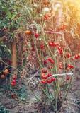 Organiska tomater i ett växthus Trädgårds- nya röda mogna tomater Arkivbilder