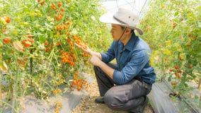 Organiska tomater i hennes tr?dg?rd fotografering för bildbyråer