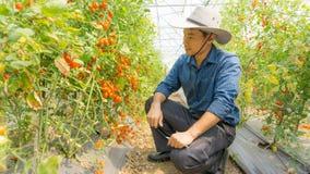 Organiska tomater i hennes tr?dg?rd royaltyfri foto