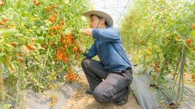 Organiska tomater i hennes tr?dg?rd arkivbilder