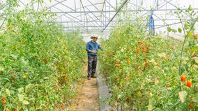 Organiska tomater i hennes tr?dg?rd royaltyfri fotografi