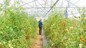 Organiska tomater i hennes tr?dg?rd royaltyfria bilder