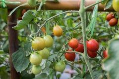 Organiska tomater i trädgården som är klar att skörda royaltyfri foto