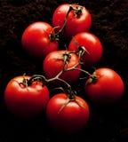Organiska tomater som skördas och kontrolleras precis royaltyfria foton