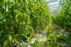 Organiska tomatskördar i ett växthus Arkivbild