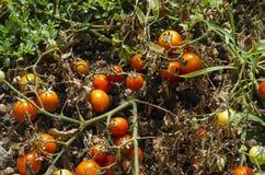 Organiska tomatväxter royaltyfri foto
