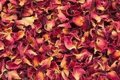 Organiska torra Rose Damask kronblad (den Rosa damascenaen) arkivfoton