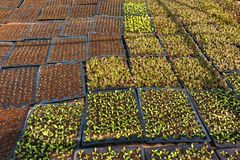 Organiska unga grönsallater Royaltyfri Fotografi