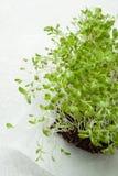 Organiska växande microgreens på vit bakgrund äta för begrepp som är sunt royaltyfri fotografi