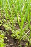 Organiska vitlökkulor som växer i jord royaltyfria foton