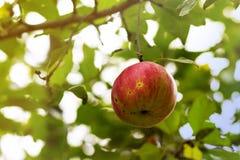 Organiskt äpple Arkivfoto