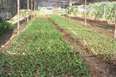 Organiskt åkerbrukt, lantgård, ris, thailändska bönder, Dipterocarpus alatus Arkivbild