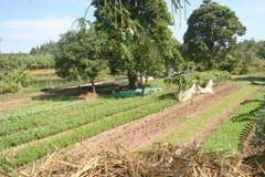 Organiskt åkerbrukt, lantgård, ris, thailändska bönder, Dipterocarpus alatus Arkivfoton
