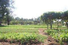 Organiskt åkerbrukt, lantgård, ris, thailändska bönder, Dipterocarpus alatus Arkivfoto