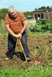 Organiskt arbeta i trädgården för grönsaker. Royaltyfria Foton