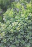 Organiskt arbeta i trädgården, mintkaramellörtväxter Arkivfoton