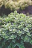 Organiskt arbeta i trädgården, mintkaramellörtväxter Royaltyfri Foto