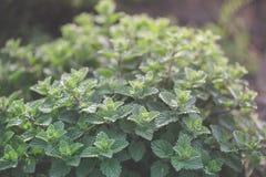 Organiskt arbeta i trädgården, mintkaramellörtväxter Royaltyfria Bilder