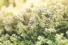 Organiskt arbeta i trädgården, timjanörtväxter Fotografering för Bildbyråer