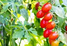 Organiskt behandla som ett barn tomater eller körsbärsröda tomater i trädgård Fotografering för Bildbyråer