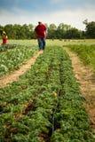 Organiskt grönkålfält Royaltyfri Bild