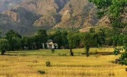 Organiskt indiskt lantbruk för guld- veteskörd i avlägsna Himalayas Royaltyfria Bilder