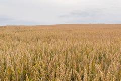 Organiskt jordbruk - vetefält med kopieringsutrymme royaltyfri fotografi