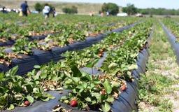 Organiskt jordgubbefält i Florida royaltyfri foto
