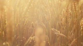Organiskt lantbruk för guld- skörd för rågvetefält stock video