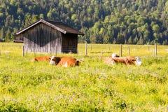 Organiskt lantbruk med lyckliga kor Fotografering för Bildbyråer